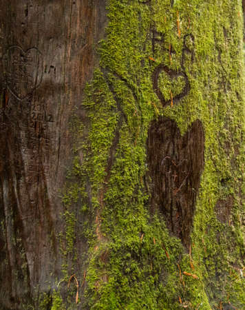 Graffiti mars the green moss and bark of an old redwood tree in Arcata's Community Forest in California