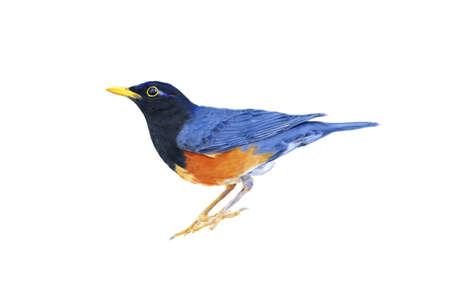 illus: A Black-breasted Thrush Bird Digital Art Painting Stock Photo