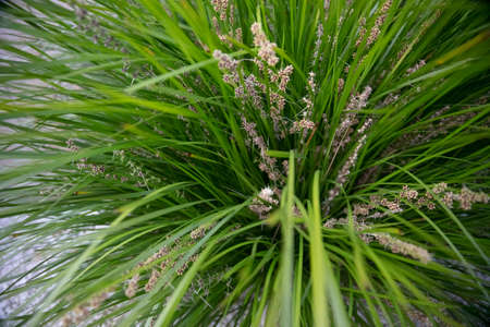 Australian native green lomandra longifolia tanika grass or basket grass