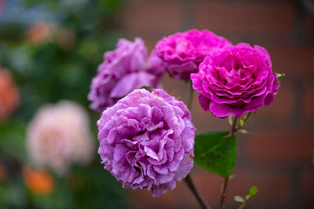 Highly fragrance of purple-lilac coloured Chartreuse de parme Delbard roses Reklamní fotografie
