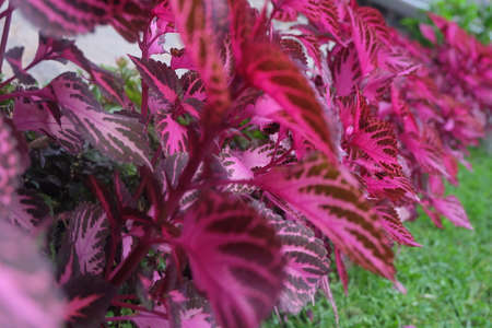 maroon: Maroon Leaves