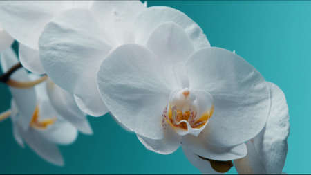 White blooming orchid on the teal background Studio shoot of flowers Stockfoto