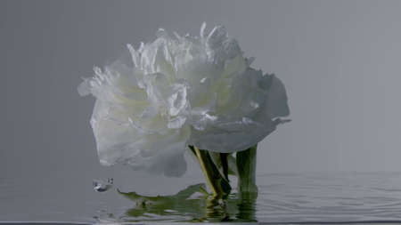 white peony mowes in slow motion under water. White flower blooming under water Stockfoto