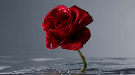 red rose blooms under water upside down image