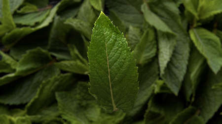 top view of the mint leaf falling toward to mint leafs background and camera follow the leaf toward to background