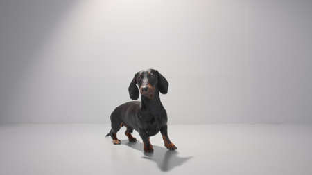 Obedient dachshund young dog stand and wait for his owner to give him a command. Training patience. Studio white background high quality photo image.