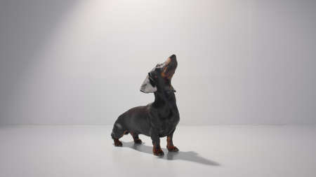 Obedient dachshund young dog sit and wait for his owner to give him a command. Training patience. Studio white background high quality photo image.