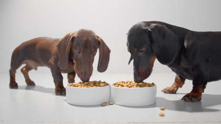 Dogs are eating dry food from two white containers. Chocolate brown and black dachshund puppy enjoy their meal. Studio white background high quality photo.