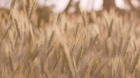 Atmospheric cinematic warm close-up view of blurred ears of wheat in sun rays. High quality photo image. Fertile land concept.