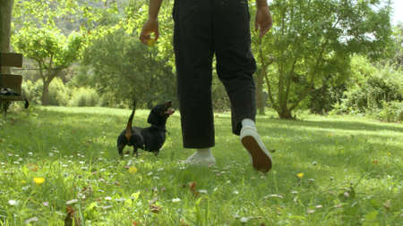 A mixed race black man with a ball in the hand. Dachshund puppy on a green fresh lawn in the forest on a sunny day watching him and waiting. Happy pet. Low angle high quality photo.