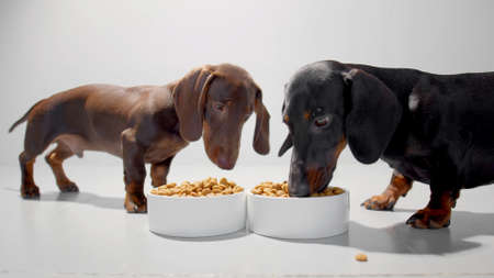 Teckel or weiner dogs with dry food in two white containers. Black puppy eating and enjoying the meal and chocolate brown dachshund watching. Studio white background high quality photo. Archivio Fotografico