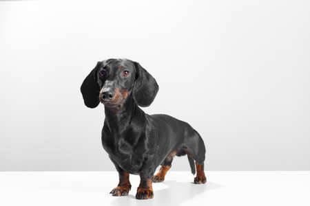 Sausage dog or weiner dog standing 45 degree to the camera and watching straight. Wet nose and short legs. Training and obedience dog concept. White background studio shot photo image.
