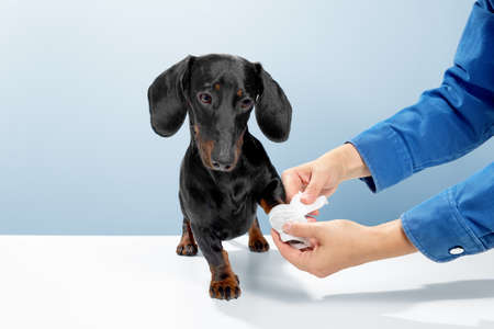Sausage dog or weiner dog stand and watch the doctor helping. Hurt or cut the leg. Let the medical officer wrap white tape in the veterinary clinic. Blue background studio shot photo image. Archivio Fotografico