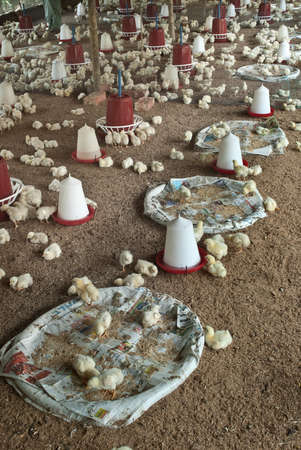 feeders: View of a poultry farm showing chicks and their feeders