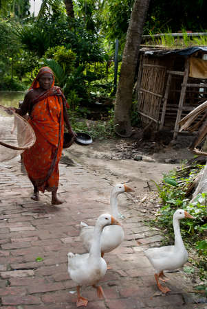 guiding: Indian village life:  An Indian village woman guiding her three pet swans on the rural way towards home.
