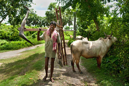 bullock animal: Indian Farmer: An Indian farmer is going to his farmland with a plough on his solder and two bullocks through the village way.