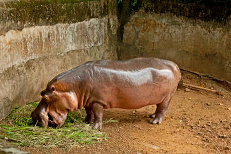 zoological: Nandankanan Zoological Park A hippopotamus is eating grass at Nandankanan zoological park. Stock Photo
