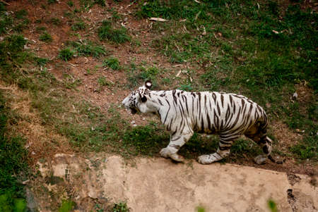 zoological: Nandankanan Zoological Park: A white tiger is walking in the field of zoological park
