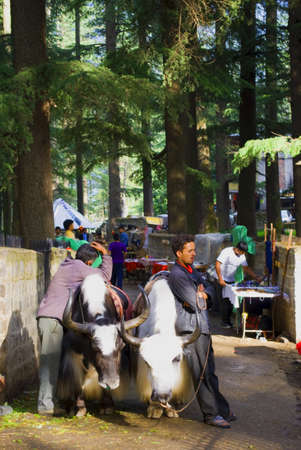 Two Local Tourist Guides With Their Yaks Are Waiting For Tourist Outside The Dense Deodar, Kail, Horse Chestnut, Walnut And Maple Forests Surrounded Hadimba Devi Temple Near Manali, Himachal Pradesh, India. Editorial