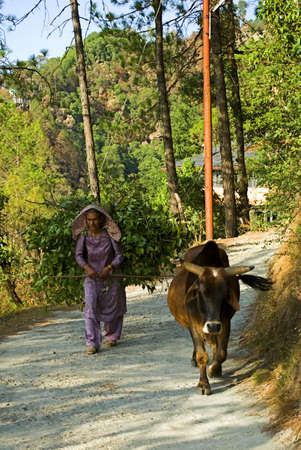 A Himachali woman is carrying big bundle of leaves on the hilly road for arranging fuel for cooking at Dalhousie in India