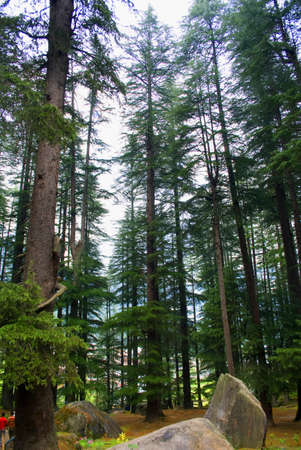 A Vertical View Of dense Deodar, Kail, Horse chestnut, Walnut and Maple forests near Manali, Himachal Pradesh, India.