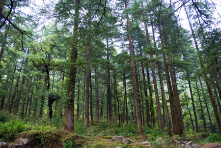 A taste to the purest nature in dense Deodar, Kail, Horse chestnut, Walnut and Maple forests is one of the popular tourist interests in Himachal Pradesh, India.