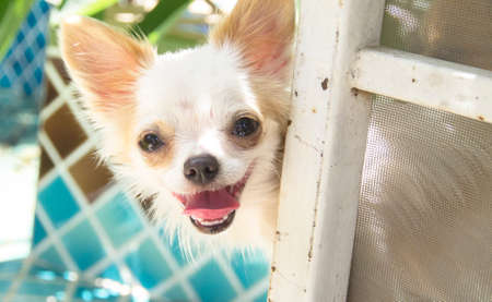 canny: white Chihuahua dog