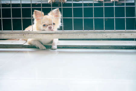 pitiful: vintage style pitiful chihuahua dog sitting in cage,he need free to coming into house Stock Photo