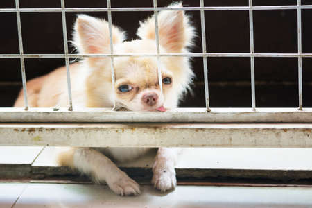 pitiful: pitiful small body brown chihuahua dog sitting in cage,he need free to coming into house