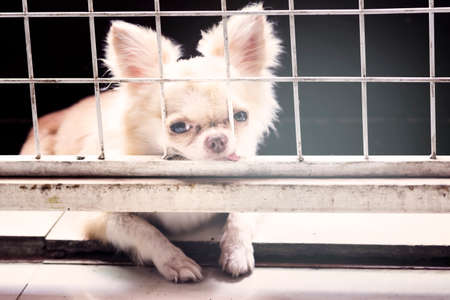 pitiful: vintage style pitiful small body brown chihuahua dog sitting in cage,he need free to coming into house
