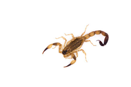 noxious: top view of isolated scorpion