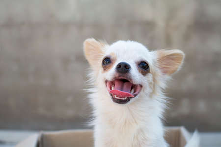 siting: white chihuahua siting in box whit concrete wall background