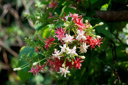suckle: beautiful flowers background red Rangoon creeper Stock Photo