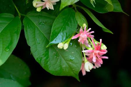 suckle: nature text box,beautiful red Rangoon creeper flowers on dark background