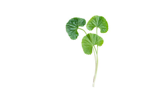 isolated top view fresh green asiatic pennywort leaf Фото со стока