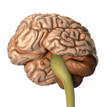Very high resolution 3d rendering of an human brain  photo