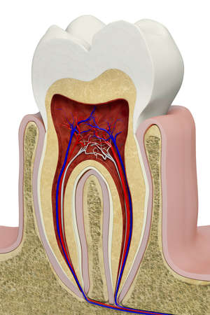 cross section: Very high resolution 3d rendering of an anatomic tooth section. Stock Photo