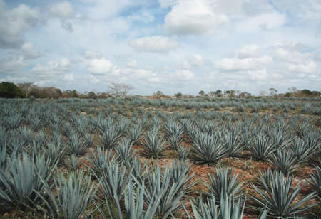 Tipical tequila agave cactus field in Mexico