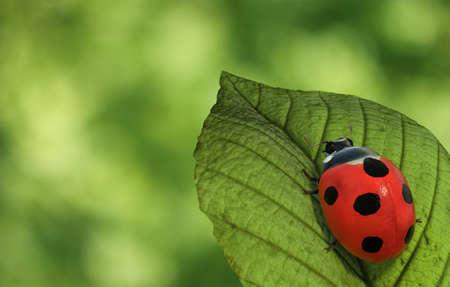 lady bug:  on a leaf with a defocused green background