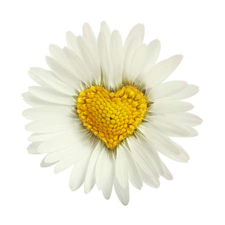Heart shaped white daisy isolated over white Zdjęcie Seryjne