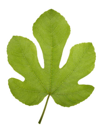 fig leaf: Very high resolution texture of a fig green leaf Stock Photo