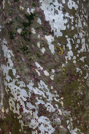 Very big tree barl green and white texture