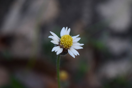 plantae: Wild Daisy on blur background. Stock Photo