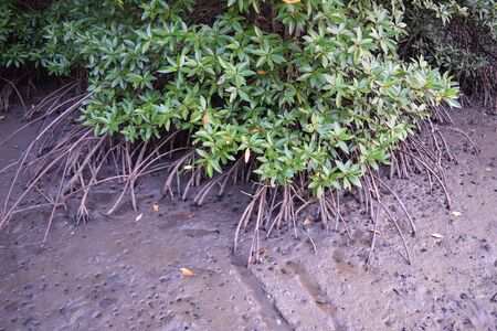 plantae: Root of Mangrove