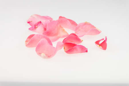 soft pedal: Light pink rose petal on white background