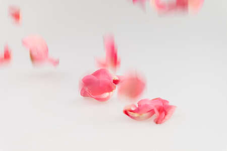 soft pedal: Light pink rose petal falling on white background