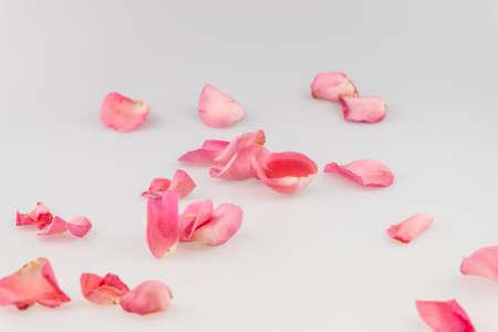Light pink rose petal on white background