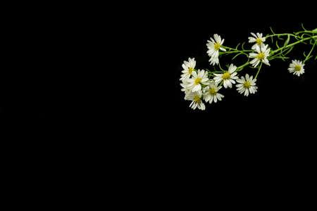 Weiß Schneider Blume, Namen Der Wissenschaft Aster Sp.White ...
