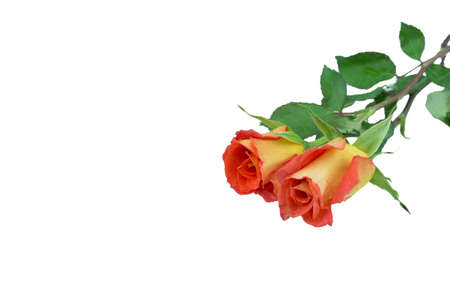 Two orange roses over white background