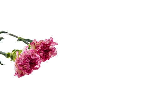 springy: Beautiful pink flower on white background